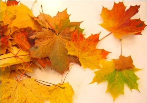 Лечение кленовыми листьями суставов отзывы травма коленного сустава симптомы и лечение